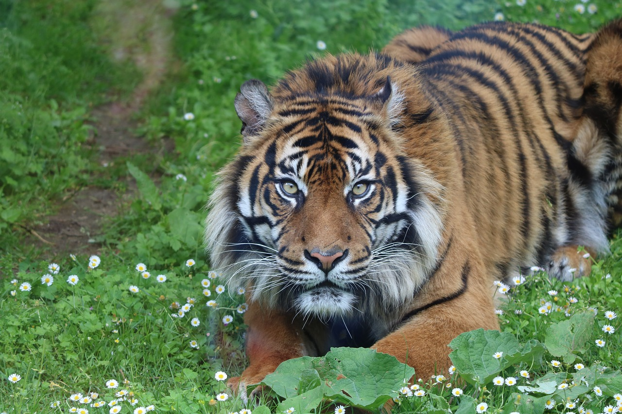 Bengal Tigers Making Slow Recovery in India